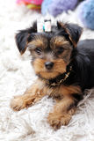 Little cute puppy at home Royalty Free Stock Photography