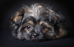 Little cute puppy. (6 months oud Royalty Free Stock Images