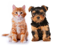 Little cute puppy and red kitten isolated on white. Little cute puppy of yorkshire terrier and red mixed-breed kitten isolated on white. Two lovely friends sits Royalty Free Stock Photography