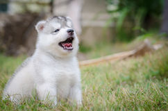 Little cute puppy of Siberian husky Stock Image