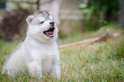 Little cute puppy of Siberian husky Stock Image
