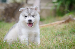 Little cute puppy of Siberian husky Stock Photos