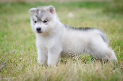 Little cute puppy of Siberian husky Royalty Free Stock Images