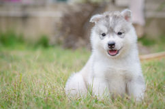 Little cute puppy of Siberian husky Royalty Free Stock Image