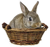 Little cute rabbit Royalty Free Stock Images