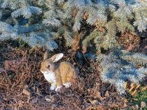 Garden figurine. Rabbit sitting under the branches of the blue spruce royalty free stock photo