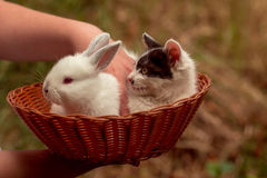 Little cute rabbit and kitten. Cute kitten with spotty fluffy fur and little white rabbit bunny domestic pets in wicker bowl with female hand on natural blur Stock Image