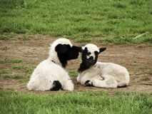 Little cute sheep stock photography