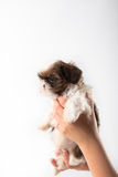 Little cute shih tzu puppy in the woman's hand Royalty Free Stock Images