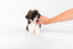 Little cute shih tzu puppy in the woman's hand Stock Photos
