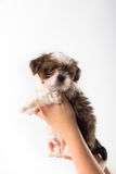 Little cute shih tzu puppy in the woman's hand Royalty Free Stock Photos