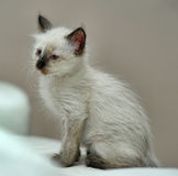 Little cute Siamese kitten Stock Image