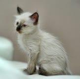 Little cute Siamese kitten Stock Image