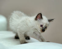 Little cute Siamese kitten Royalty Free Stock Images