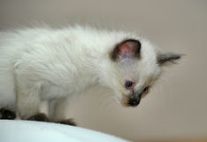Little cute Siamese kitten Royalty Free Stock Photography