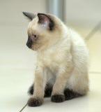 Little cute Siamese kitten Stock Photo