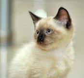 Little cute Siamese kitten Royalty Free Stock Image