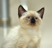 Little cute Siamese kitten Stock Photography