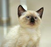 Little cute Siamese kitten Stock Photography