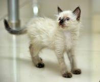 Little cute Siamese kitten Royalty Free Stock Photography