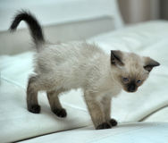 Little cute Siamese kitten Stock Photo