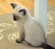 Little cute Siamese kitten Stock Photos