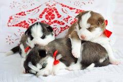 Little cute Siberian Husky puppies Stock Images