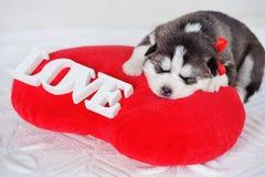 Little cute Siberian Husky puppy Stock Images