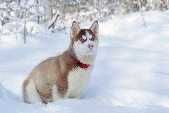 Little cute Siberian Husky on the snow Royalty Free Stock Photography