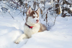 Little cute Siberian Husky on the snow Royalty Free Stock Images