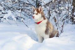 Little cute Siberian Husky on the snow Royalty Free Stock Photos