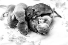 Little cute sleeping mice babies. Macro image. Black and white image royalty free stock images