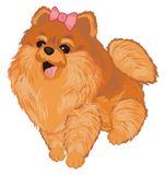 Little cute spitz girl. Little funny spitz girl with pink bow vector illustration