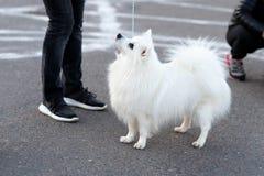 Little cute Spitz, on a leash.