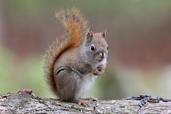 Little Cute Squirrel  Royalty Free Stock Images
