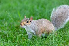 A little and cute squirrel royalty free stock photo