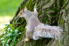 A little and cute squirrel royalty free stock images