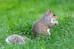 A little and cute squirrel stock photography
