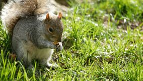 Little cute squirrel eating park. Little cute squirrel eating in the park stock footage