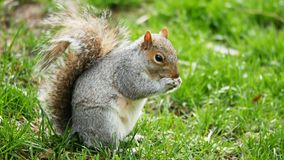 Little cute squirrel eating in the park stock footage