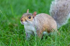 A little and cute squirrel royalty free stock photos