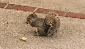 Bushy tailed Squirrel eating nuts royalty free stock photo