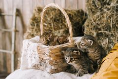 Little cute striped kittens royalty free stock images