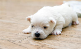 Little Cute Terrier. Close-up cute west highland white terrier puppy Royalty Free Stock Photo