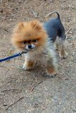 Little and cute toy dog on a leash royalty free stock image