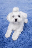 Little cute white Maltese puppy. Small dog lying on a blue rug and looking at the camera Stock Image