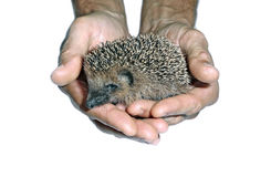 Little cute wild hedgehog in hands isolated Royalty Free Stock Photos