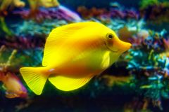 Little cute yellow fish zebrasoma flavescens swimming. Little cute yellow fish known as zebrasoma flavescens swimming Stock Photos