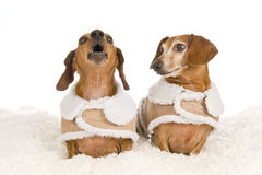 Little Dachshund Dog Calling For Help As Other Looks On Stock Images