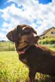 Little dog playing outside. Little dachshund purebreed long bodied short legged small dog playing outside on grass during summer spring weather royalty free stock photography